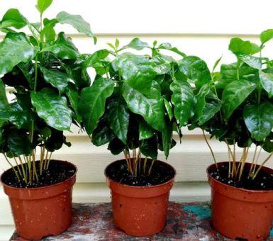 Основные болезни кофейного дерева и способы их лечения