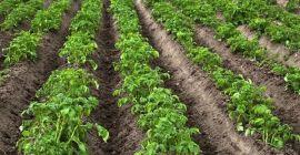Расстояние между картофельными рядами
