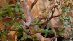 Главные причины опадания листиков у толстянки