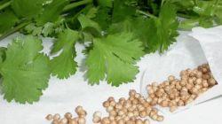 Кориандр: технология выращивания из семян