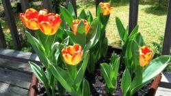 Когда лучше пересаживать тюльпаны