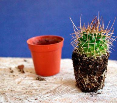 Как правильно пересаживать кактусы
