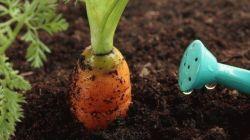 Как правильно поливать морковь в открытом грунте