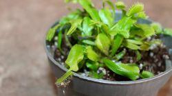 Как вырастить венерину мухоловку из семян