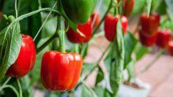 Все, что нужно знать о выращивании и уходе за болгарским перцем