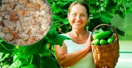Использование хлебной подкормки для огурцов и помидоров