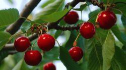 Пересадка вишни осенью и весной на новое место