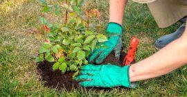Все о пересадке роз в саду: правила, секреты, техника и подготовка