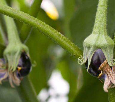 Опадают цветы и завязи баклажанов: основные причины