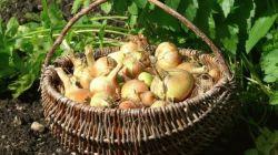 Сорта зимнего лука: особенности выращивания и ухода
