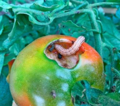 Эффективные способы борьбы с вредителями помидоров