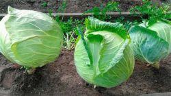 Выращивание капусты Мегатон