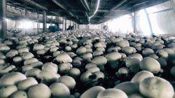 Особенности выращивания грибов в теплице