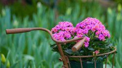 Выращивание каланхоэ Блоссфельда дома