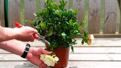 Как цветет азалия и что с ней делать после цветения
