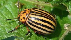 Эффективные средства от колорадского жука