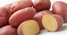 Картофель Манифест – урожайный, вкусный, устойчивый к болезням