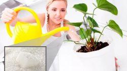 Применение сахара как удобрения для комнатных растений