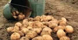 Сколько растет картофель от посадки до сбора урожая