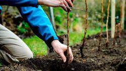 Сроки и секреты посадки малины осенью