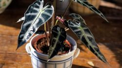 Алоказия Полли – секреты успешного выращивания