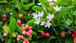 Виды кариссы и уход за цветком в домашних условиях