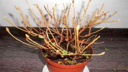 Что делать, если азалия засыхает – как спасти растение