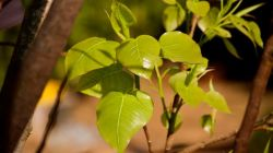 Правила выращивания фикуса священного в домашних условиях