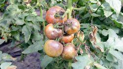 Как бороться с фитофторой на помидорах