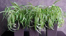 Описание хлорофитума Бонни и особенности его выращивания