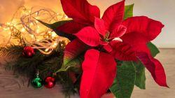 Пуансеттия или Рождественская звезда: правила ухода и размножения