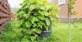 Как выращивать огурцы в бочках: секреты большого урожая на небольшом участке