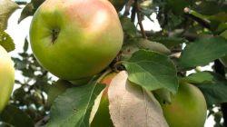 Все о яблоне Синап орловский: описание, уход, плюсы и минусы