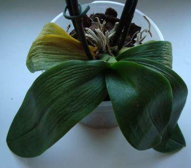 Как вернуть тургор листьям орхидеи