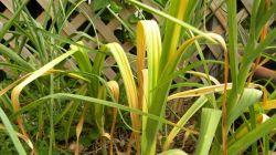 7 причин пожелтения чеснока