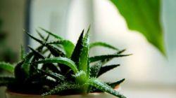 Как выбрать землю для выращивания алоэ в домашних условиях