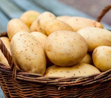 Все о картофеле Ривьера