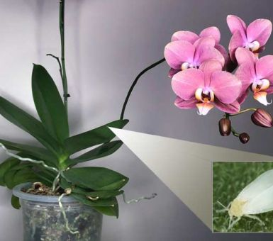 Причины появления мошек на орхидее
