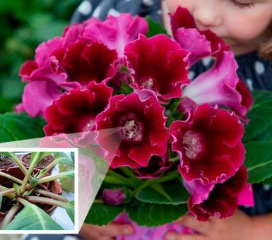 Как правильно ухаживать за глоксинией после цветения