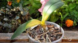 Причины опадания листьев у орхидеи и меры по спасению цветка