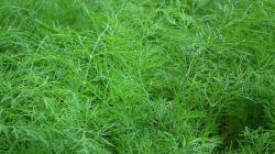 Популярные сорта укропа: описание и выращивание