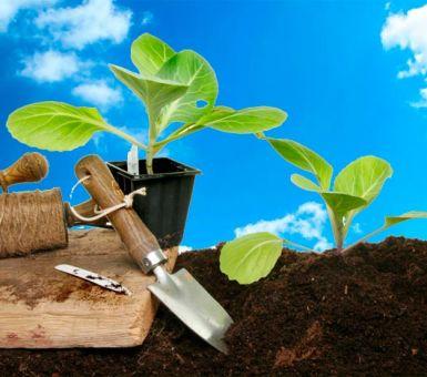 Выращивание качественной рассады капусты в домшних условиях