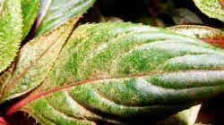 Эффективное лечение бальзамина от болезней и борьба с вредителями
