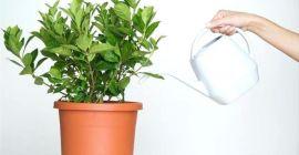 Принципы правильного полива домашнего фикуса