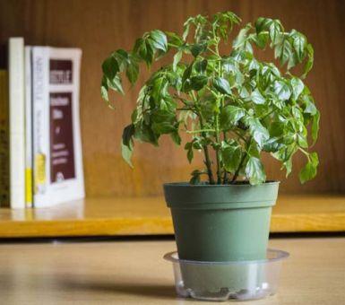 Как вырастить радермахеру в домашних условиях