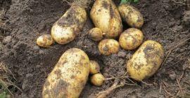 Как выбрать, что посадить после картофеля