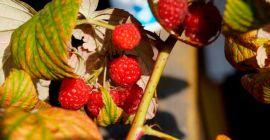 Как ухаживать за ремонтантной малиной в осенний период