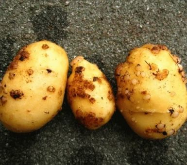 Осторожно – картофельный рак