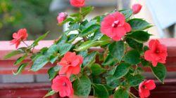 Самые эффектные садовые и комнатные сорта бальзамина