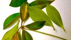 Почему шеффлера сбрасывает листья – болезни и вредители растения